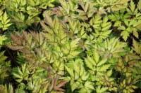 Garten September Silberkerze Atropurpurea • Cimicifuga ramosa Atropurpurea