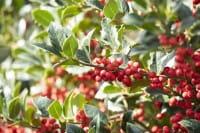 Alaska-Stechpalme • Ilex aquifolium Alaska