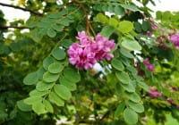 Borstenrobinie • Robinia hispida Macrophylla