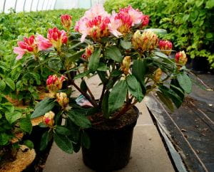 Rhododendron Percy Wiseman • Rhododendron yakushimanum Percy Wiseman