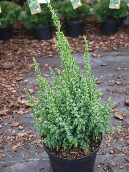 Bodenwacholder Loderi • Juniperus squamata Loderi