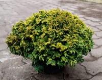 Gelbe Zwerg Mooszypresse • Chamaecyparis pisifera Plumosa Compacta