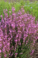 Garten-Ruten-Weidrich Dropmore Purple • Lythrum virgatum Dropmore Purple
