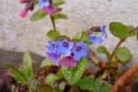 Blütenbestäubung - Farbänderung bei Blüten