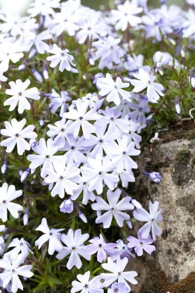 Garten-Teppich-Flammenblume Emerald Cushion Blue • Phlox subulata Emerald Cushion Blue