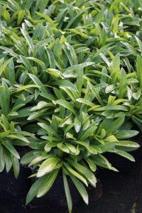 Dreiblütige Flammenblume 'Bill Baker' - Phlox glaberrima subsp. triflora 'Bill Baker'