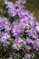 Kleinblättriger Rhododendron • Rhododendron impeditum