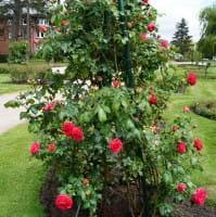 Kletterrose Maritim • Rosa Maritim