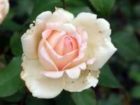 Rose Souvenir de Baden-Baden • Rosa Souvenir de Baden-Baden