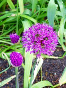 Garten-Kugel-Lauch Purple Sensation • Allium aflatunense Purple Sensation