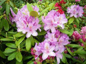 Rhododendron Catawbiense Boursault • Rhododendron Hybr.Catawbiense Boursault