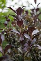 Rotblättrige Weigelia • Weigela florida Purpurea