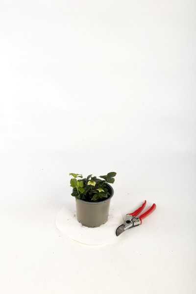 Teppich Hartriegel • Cornus canadensis