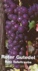 Weintraube Roter Gutedel • Vitis Roter Gutedel