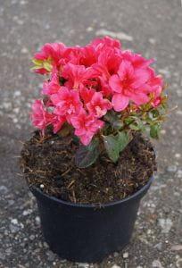Japanische Azalee Gislinde • Rhododendron obtusum Gislinde