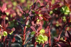 Mandelblättrige Garten Wolfsmilch • Euphorbia amygdaloides Purpurea