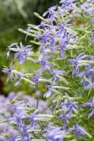 Blauer Bubikopf • Isotoma fluviatilis