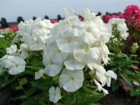 Hohe Garten-Flammenblume Pina Colada • Phlox paniculata Pina Colada