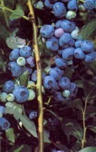Heidelbeere-Blaubeere Berkeley • Vaccinium corymbosum Berkeley