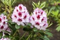 Rhododendron Cassata • Rhododendron Hybride Cassata