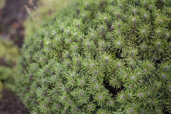 Berg-Kiefer Benjamin • Pinus mugo Benjamin