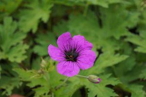 Armenischer Storchschnabel • Geranium psilostemon