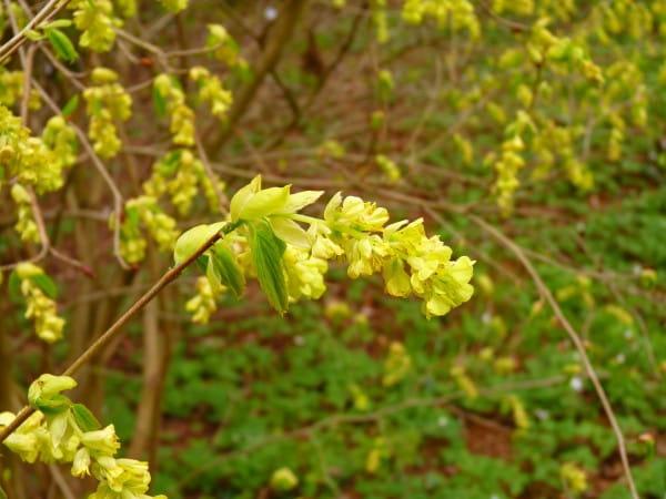 Scheinhasel • Corylopsis willmottiae