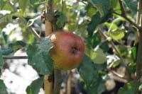 Apfel Jonathan • Malus Jonathan