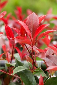 Glanzmispel Red Select • Photinia fraseri Red Select