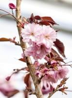 Japanische Nelkenkirsche Royal Burgundy • Prunus serrulata Royal Burgundy