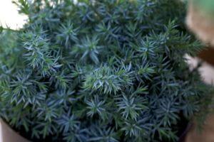 China-Wacholder Blaue Alpen • Juniperus chinensis Blue Alps
