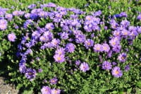 Garten Kissen Aster • Aster dumosus Augenweide