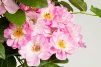 Kletterrose Appleblossom • Rosa Appleblossom