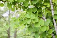 Judasblattbaum Lebkuchenbaum • Cercidiphyllum japonicum