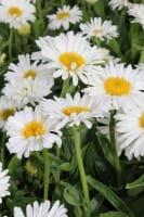 Niedrige Garten Aster • Aster alpinus Albus