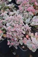 Garten-Fettblatt Robustum • Sedum cauticola Robustum