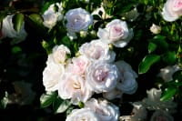 Bodendeckerrose Aspirin • Rosa Aspirin