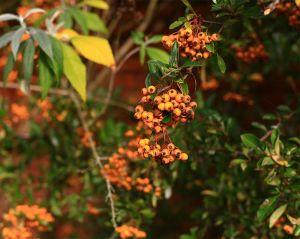 Feuerdorn Orange Glow • Pyracantha Orange Glow