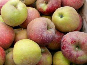 Apfelbaum Roter Boskoop • Malus Roter Boskoop