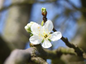Pflaume Königin Viktoria • Prunus domestica Königin Viktoria