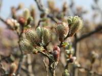 Schweizer Weide • Salix helvetica
