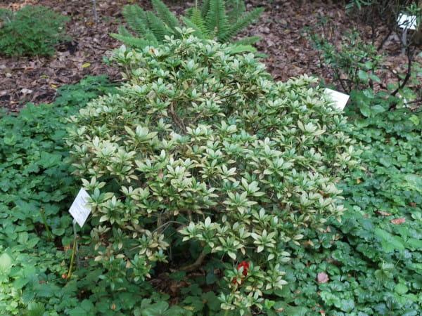 Schattenglöckchen Cavatine • Pieris japonica Cavatine