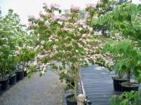 Japanischer Blumenhartriegel Satomi • Cornus kousa chinensis Satomi