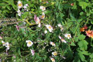 Anemone hupehensis Septembercharme • Anemone hupehensis Septembercharme