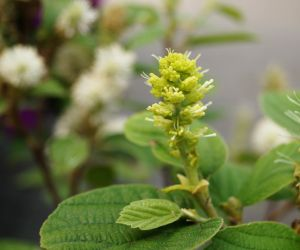 Zwerg-Federbuschstrauch • Fothergilla gardenii