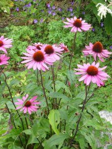 Garten-Scheinsonnenhut Magnus • Echinacea purpurea Magnus