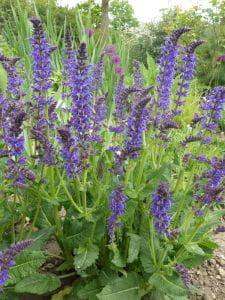 Garten-Blüten-Salbei • Salvia nemorosa Mainacht