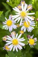 Ageratum-ähnliche Garten Aster • Aster ageratoides Asra