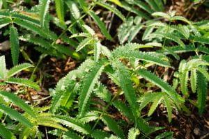 Hoher Garten-Wiesenknopf Albiflora - Sanguisorba tenuifolia Albiflora