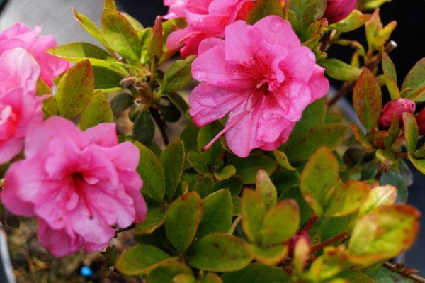 Japanische Azalee Babuschka ® • Rhododendron obtusum Babuschka ®